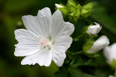 Mallow Flower Stock Photo