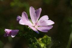 Mallow Flower. Malva moschata in early morning light Royalty Free Stock Image