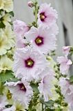 Mallow flower. Beautiful flowers in the garden hollyhock Stock Images
