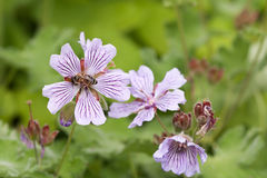 Mallow flower and bee Royalty Free Stock Photos