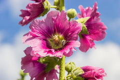 Mallow flower with a bee Royalty Free Stock Images
