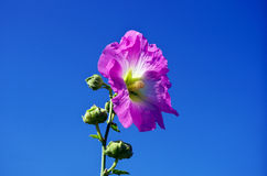 Mallow flower. Blooming Mallow in the sunshine Royalty Free Stock Images