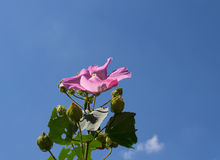 Mallow flower. With blue sky background Royalty Free Stock Image