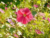 Mallow flower. In the city street Stock Photo