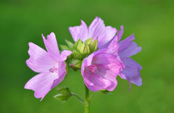 Mallow flower Royalty Free Stock Photos