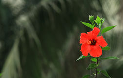 Mallow flower on dark background. In Hanoi, Vietnam Royalty Free Stock Photo