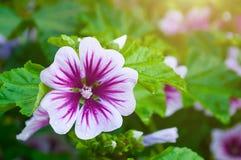 Mallow flower of forest mallow - flower background. Mallow flower or forest mallow in summer forest under sofr sunlight, in Latin Malva sylvestris. Flower Stock Photo
