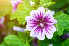 Mallow flower of forest mallow - flower background. Mallow flower or forest mallow, in Latin Malva sylvestris. Flower background Stock Images