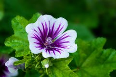 Mallow flower, forest mallow - flower background. Mallow flower, forest mallow, in Latin Malva sylvestris. Flower spring background Royalty Free Stock Images