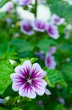 Mallow flower of forest mallow, closeup of malva flower. Mallow flower or forest mallow in summer forest, in Latin Malva sylvestris. Flower closeup Stock Photos