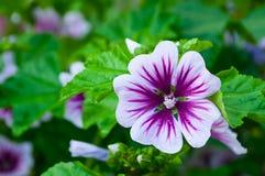 Mallow flower of forest mallow - flower summer background. Mallow flower or forest mallow in summer garden under soft sunlight, in Latin Malva sylvestris. Flower Stock Photos
