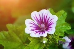 Mallow flower of forest mallow - flower forest background. Mallow flower or forest mallow in summer forest, in Latin Malva sylvestris. Flower background Stock Images