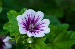 Mallow flower of forest mallow - flower forest landscape. Mallow flower or forest mallow in summer forest, in Latin Malva sylvestris. Flower landscape Stock Photography