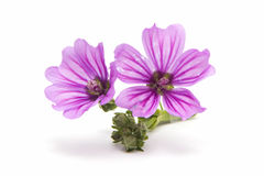 Mallow flower Stock Photography
