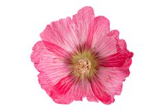 Mallow flower head on white. Mallow flower head closeup isolated on white background Royalty Free Stock Image