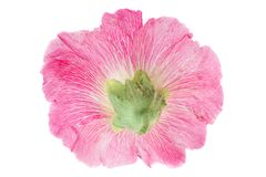 Mallow flower head on white. Mallow flower head closeup isolated on white background Stock Photo