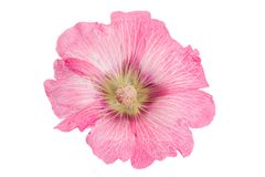 Mallow flower head on white. Mallow flower head closeup isolated on white background Stock Images