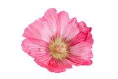 Mallow flower head on white. Mallow flower head closeup isolated on white background Royalty Free Stock Images