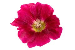 Mallow flower head on white. Mallow red flower head closeup isolated on white background Stock Images