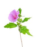 Mallow flower isolated on a white. Background Royalty Free Stock Images