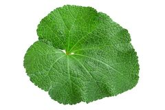 Mallow flower leaf on white. Mallow flower leaf isolatted on white background Royalty Free Stock Photography