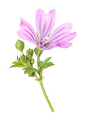 Mallow Royalty Free Stock Images