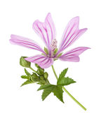 Mallow. Flower with leaves and buds isolated on white Royalty Free Stock Image