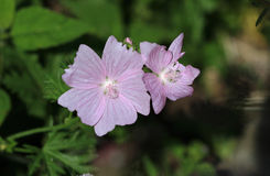 Mallow Flower Royalty Free Stock Images