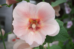 The mallow flower is pale pink with a dark core and white pollen Stock Image