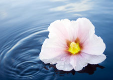 Mallow flower in water. A pink and white mallow flower floating in blue water Royalty Free Stock Photo