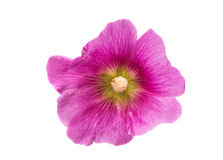 Mallow flower Stock Image