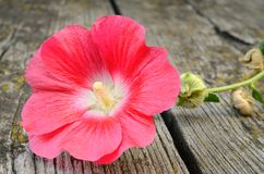 Mallow flower on wooden background. Closeup mallow flower on wooden background Stock Photo