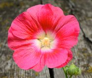 Mallow flower on wooden background. Closeup mallow flower on wooden background Stock Image