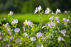 Mallow flowers bush. Nice wild mallow flowers bush Royalty Free Stock Images