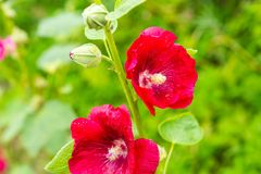 Mallow flowers in close up. Flowers growing in garden Stock Photography