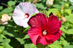Mallow flowers Stock Photography