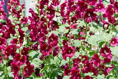 Mallow flowers. a herbaceous plant with hairy stems, pink or pur. Ple flowers, and disk-shaped fruit. Several kinds are grown as ornamentals, and some are edible Royalty Free Stock Photo