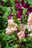 Mallow flowers. a herbaceous plant with hairy stems, pink or pur. Ple flowers, and disk-shaped fruit. Several kinds are grown as ornamentals, and some are edible Royalty Free Stock Photos