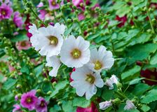 Mallow flowers. a herbaceous plant with hairy stems, pink or pur. Ple flowers, and disk-shaped t. Several kinds are grown as ornamentals, and some are edible Royalty Free Stock Images