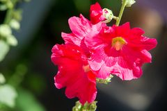Mallow flowers. a herbaceous plant with hairy stems, pink or pur. Ple flowers, and disk-shaped fruit. Several kinds are grown as ornamentals, and some are edible Stock Images