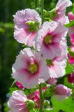 Mallow flowers. a herbaceous plant with hairy stems, pink or pur. Ple flowers, and disk-shaped fruit. Several kinds are grown as ornamentals, and some are edible Stock Photo