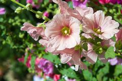 Mallow flowers. a herbaceous plant with hairy stems, pink or pur. Ple flowers, and disk-shaped fruit. Several kinds are grown as ornamentals, and some are edible Stock Photos
