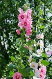 Mallow flowers. a herbaceous plant with hairy stems, pink or pur. Ple flowers, and disk-shaped fruit. Several kinds are grown as ornamentals, and some are edible Royalty Free Stock Photography