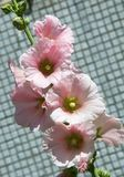Mallow flowers. a herbaceous plant with hairy stems, pink or pur. Ple flowers, and disk-shaped fruit. Several kinds are grown as ornamentals, and some are edible Royalty Free Stock Images