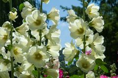 Mallow flowers. a herbaceous plant with hairy stems, pink or pur. Ple flowers, and disk-shaped fruit. Several kinds are grown as ornamentals, and some are edible Royalty Free Stock Image