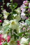 Mallow flowers. a herbaceous plant with hairy stems, pink or pur. Ple flowers, and disk-shaped fruit. Several kinds are grown as ornamentals, and some are edible Stock Image