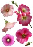 Mallow flowers isolated. On white background. Collage Stock Images