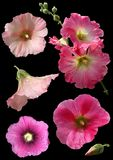 Mallow flowers isolated. On black background. Collage Royalty Free Stock Photo