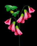 Mallow flowers isolated on black  background. Beautiful flowers Stock Photos