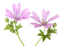 Mallow. Flowers with leaves and buds isolated on white Stock Photo